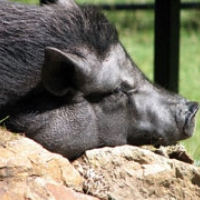315: The Parrot and the Potbellied Pig